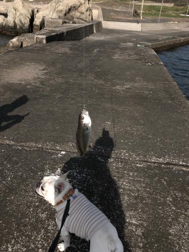 フッコ(ヒラスズキ)の釣果