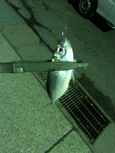 アカカマスの釣果