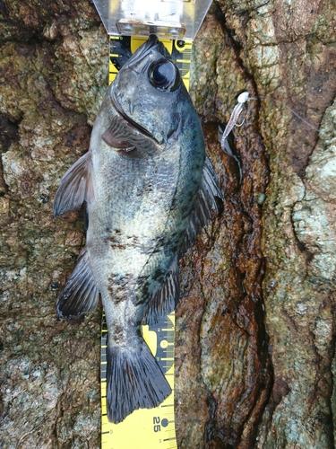 アオメバルの釣果