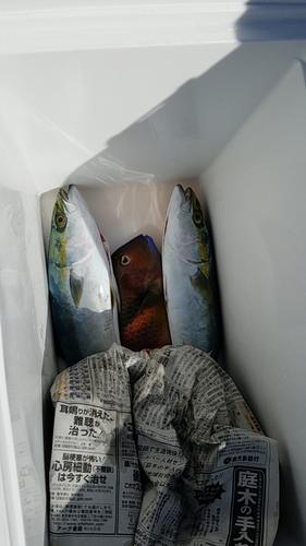 ハマチの釣果