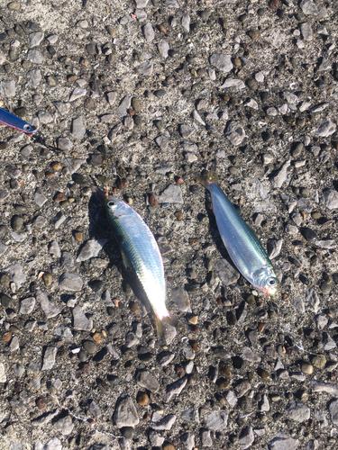 イワシの釣果