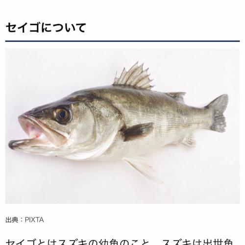 セイゴ(マルスズキ)