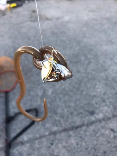 ホタテウミヘビ