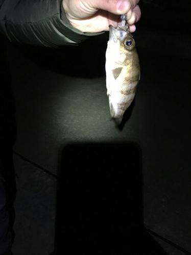 チャメバルの釣果