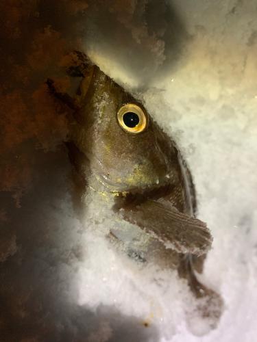 エゾメバルの釣果