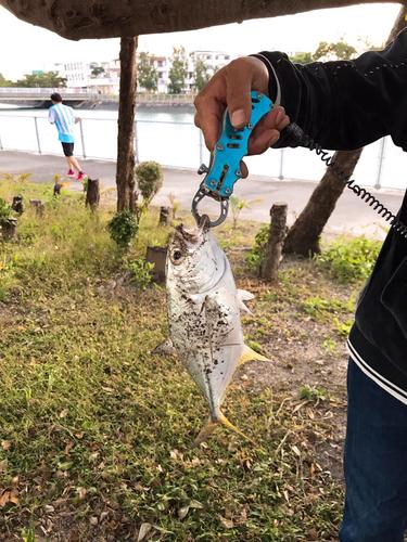 ギンガメアジの釣果
