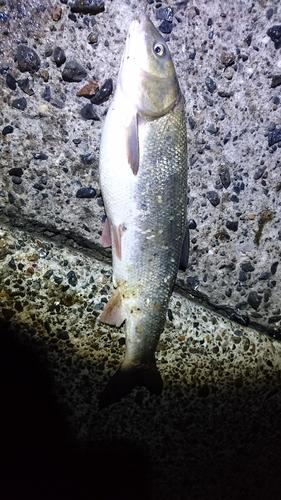 マルタウグイの釣果