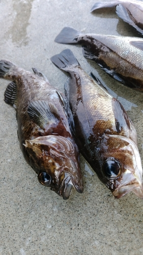 メバルの釣果