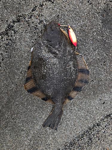 ヌマガレイの釣果
