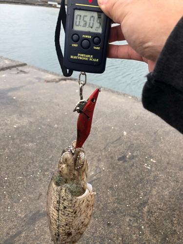 コウイカの釣果