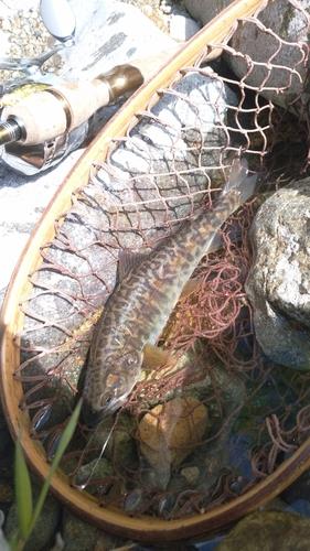 カワサバの釣果