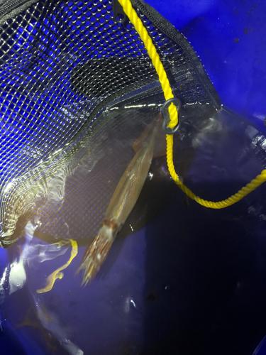 イカの釣果