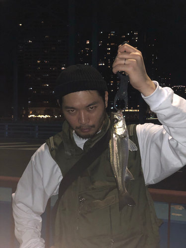 シーバスの釣果