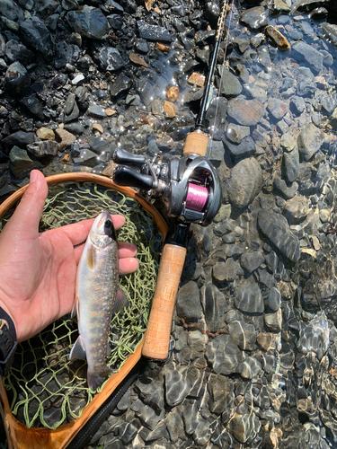 イワナの釣果