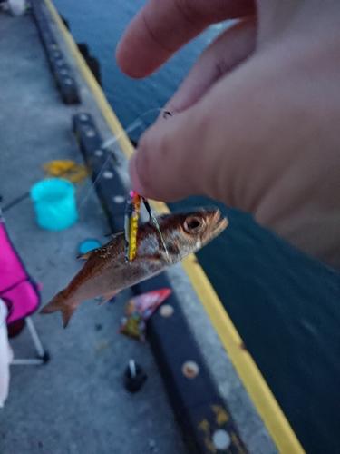 クロムツの釣果