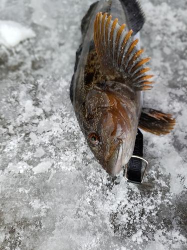 アブラコの釣果