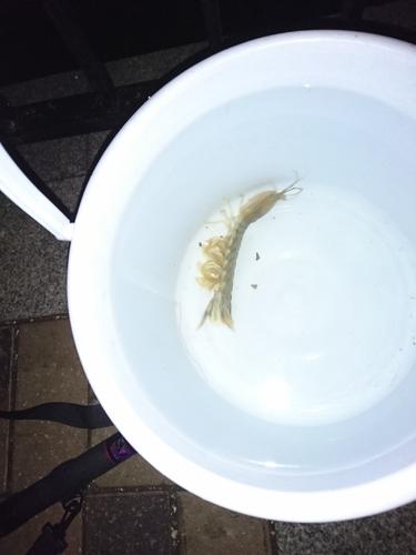 シャコエビの釣果