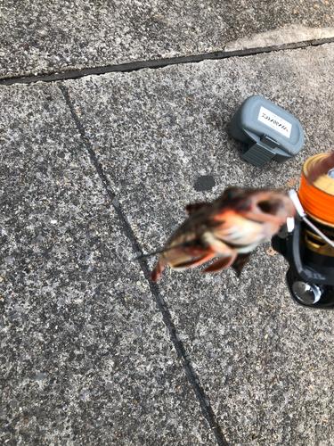 ホウボウの釣果