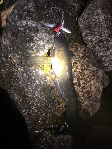 ビワコオオナマズの釣果