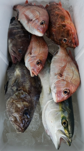 イシナギの釣果