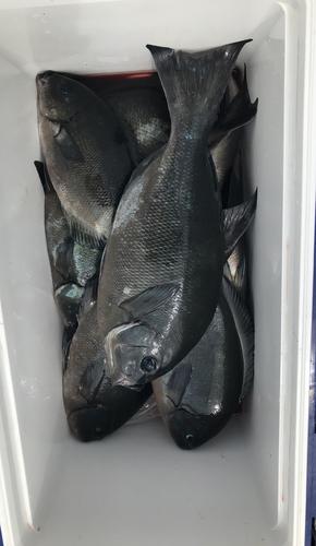 オナガグレの釣果