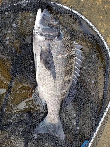 クロダイの釣果