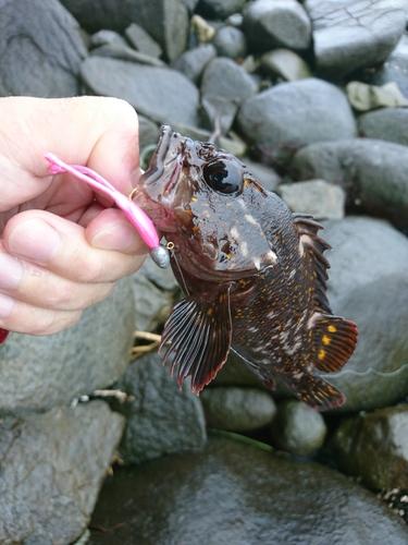 オウゴンムラソイの釣果