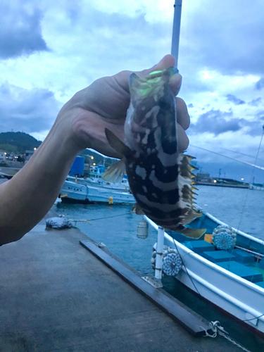 クエの釣果