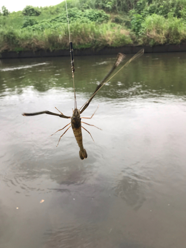 テナガエビの釣果
