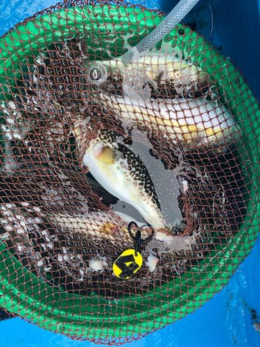 ショウサイフグの釣果