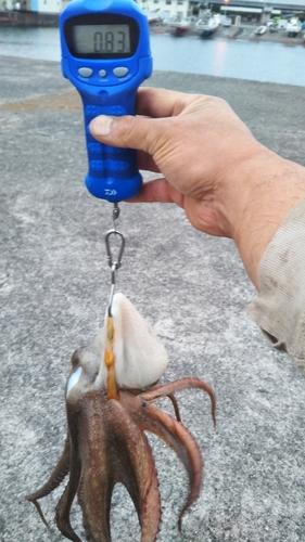 タコの釣果