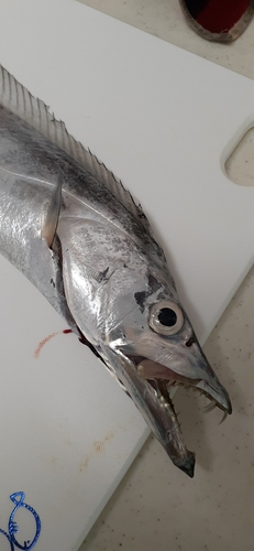 タチウオの釣果