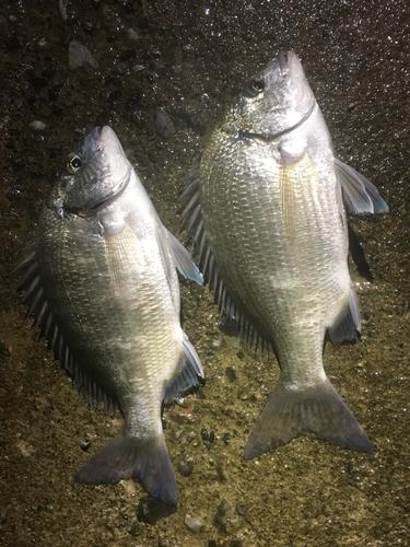 ミナミクロダイの釣果