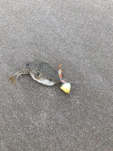 クサフグの釣果