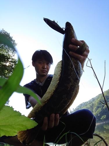 ライギョの釣果