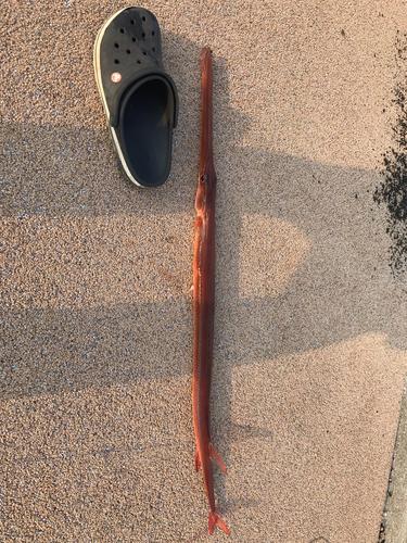 アカヤガラの釣果