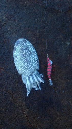 シリヤケイカの釣果