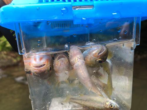 カワムツの釣果