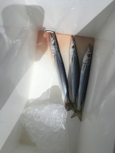 カマスの釣果