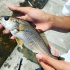 釣りboy ゆぅきぃの釣果