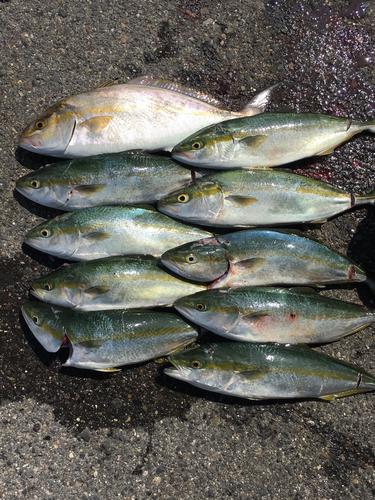 シオの釣果