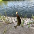 鯉将(けんたろう)の釣果