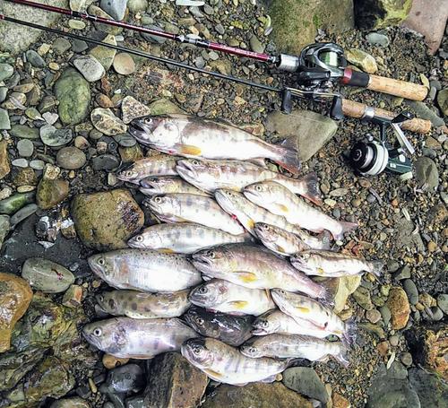 ヤマメの釣果