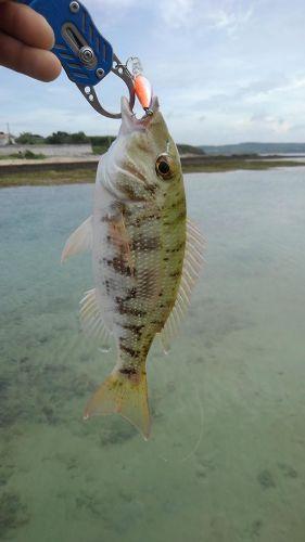 イソフエフキの釣果