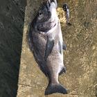 Kurashiki-Seabassの釣果