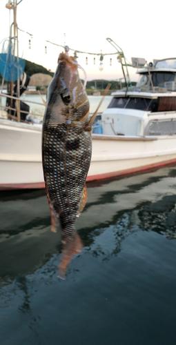 フエフキダイの釣果