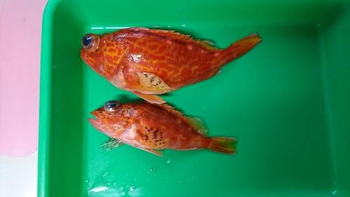 アヤメカサゴの釣果