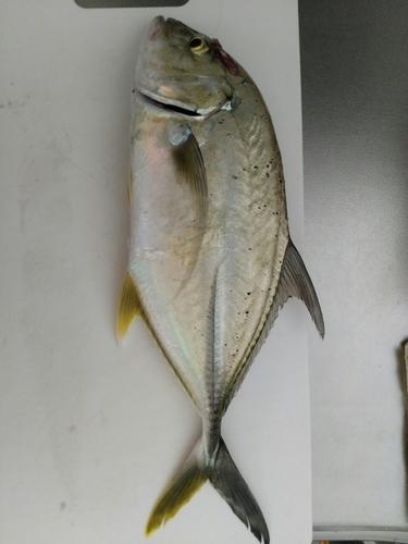 オニヒラアジの釣果