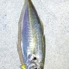 Yakumoの釣果