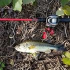 外来魚管理組合 名誉肛門 Lのイチモツの釣果